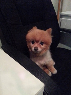 Bo with his adorable teddy bear haircut! This cute little fella belongs to one of the co-owners of City Rooms.